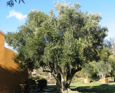 "<span class= ""e"">5</span> 150yr old Multi-trunk Olive"