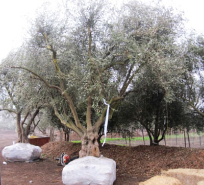 "<span class= ""e"">5</span> 85yr old Manzanillo Olive tree"